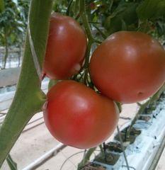 3725 F1 семена томата индетерминантного (Seminis / Семинис)