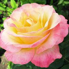 Роза чайно-гибридная Глория Дей