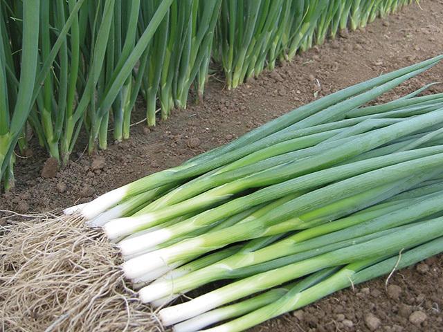 На перо Кайгаро семена лука на перо (Enza Zaden / Энза Заден) kaigaro.jpeg