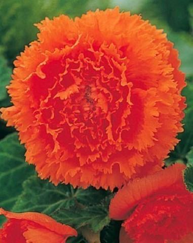 Бегония бахромчатая оранжевая (2 клубня)