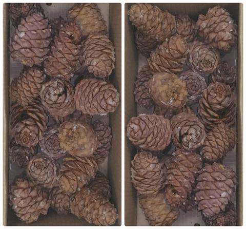 Шишка кедрового ореха маленькая 1 шт