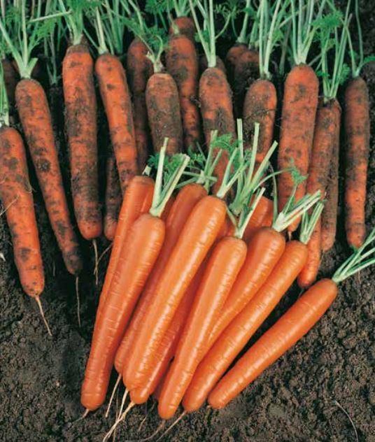 Нантский Сопрано F1 семена моркови нантской (Vilmorin / Вильморин) Сопрано_F1.JPG