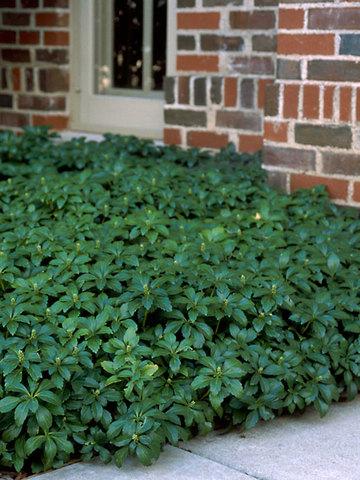 "Пахисандра верхушечная ""Green Carpet"""