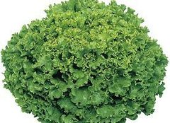 Фанли семена салата листового (Syngenta / Сингента)