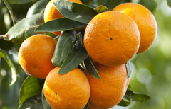 Апельсин сладкий Citrus sinensis, 10 мл.