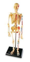 Конструктор Анатомия человека. Скелет, Learning Resources