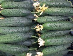 Габри F1 семена огурца партенокарпического (Sakata / Саката)