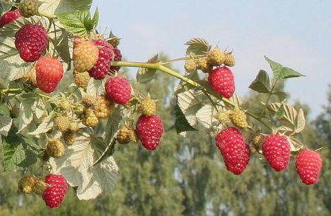 Малина ремонтантные сорта Брянское диво (С2)-Rubus idaeus Bryanskoe Divo