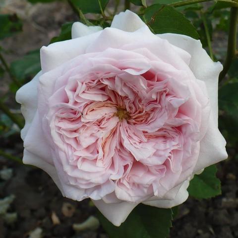 Роза Английская кустовая  Claire Rose