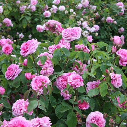 Роза Английская кустовая  Gertrude Jekyll