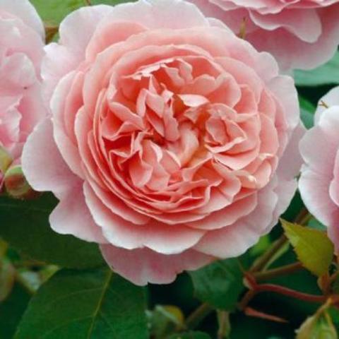 Роза Английская кустовая  Strawberry Hill
