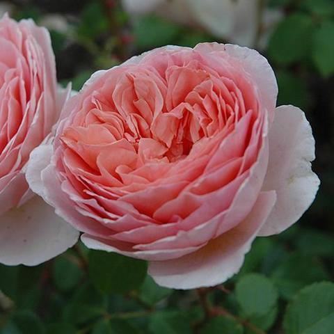 Роза Английская кустовая Abraham Darby