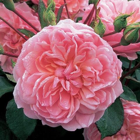 Роза Английская кустовая Anne Boleyn