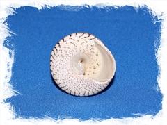Раковина моллюска Трохус Макулатус