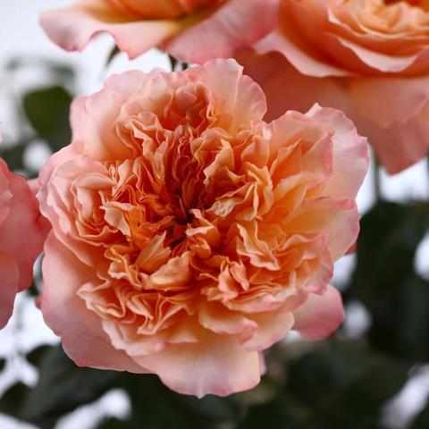 Роза Английская кустовая Edith