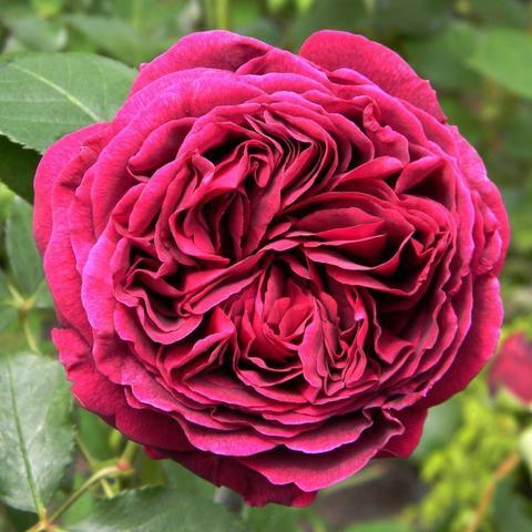 Роза Английская кустовая Falstaff