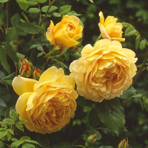 Роза Английская кустовая Golden Celebration
