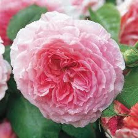 Роза Английская кустовая James Galway