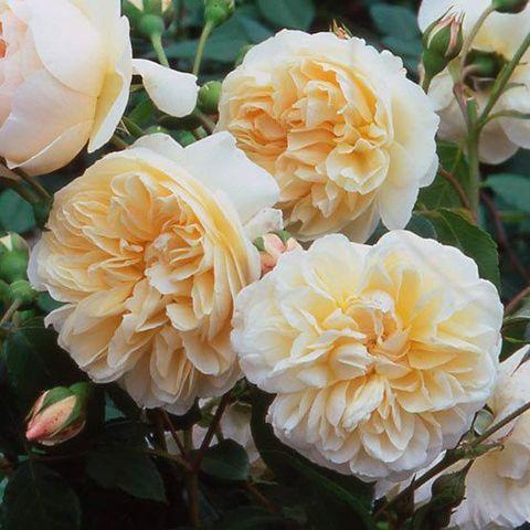 Роза Английская кустовая Lichfield Angel