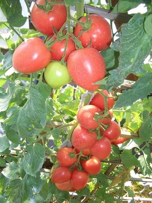 Томат Бонапарт F1 семена томата индетерминантного (Vilmorin / Вильморин) бонап.jpg
