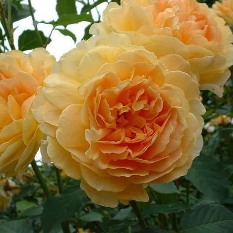 Роза Английская кустовая Molineux