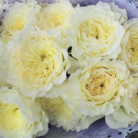 Роза Английская кустовая Patience