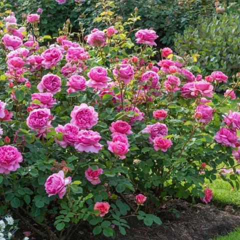 Роза Английская кустовая Princess Alexandra Of Kent