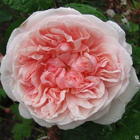 Роза Английская кустовая Queen of Sweden
