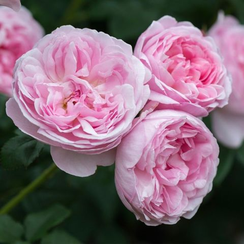 Роза Английская кустовая Scepter'd Isle