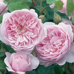 Роза английская Висли Wisley Северный огород