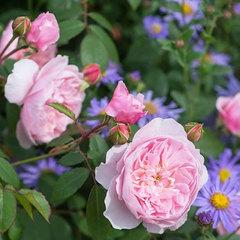 Роза английская Висли Wisley СевОгород