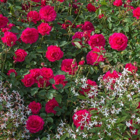 Роза Английская кустовая Sir John Betjeman