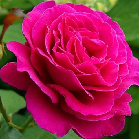 Роза чайно-гибридная Малиновый звон