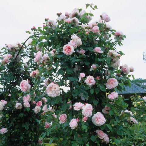 Роза Английская кустовая St Swithun
