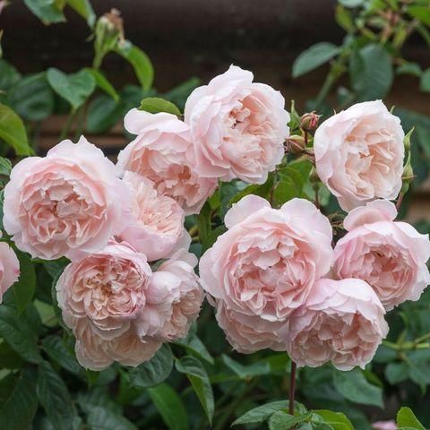 Роза Английская кустовая The Generous Gardener