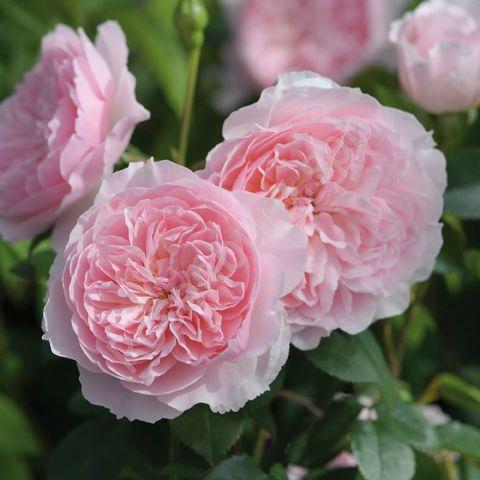 Роза Английская кустовая Wisley 2008