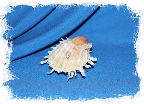 Спондилус албибарбатус (Spondylus albibarbatus) 7 см.