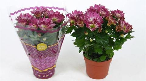 Хризантема Робино розовая