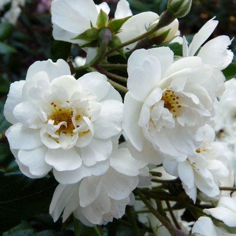 Роза Кустовая  Waterloo