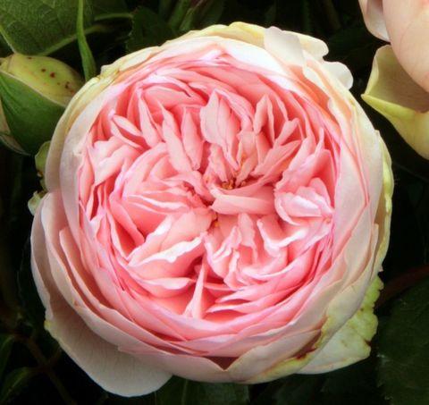 Роза кустовая Bridal piano