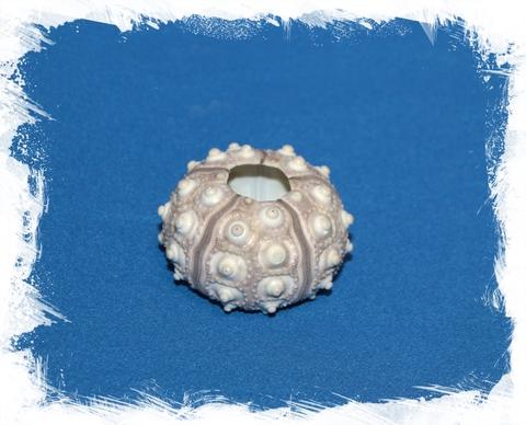 Панцирь морского ежа серый 5-7 см
