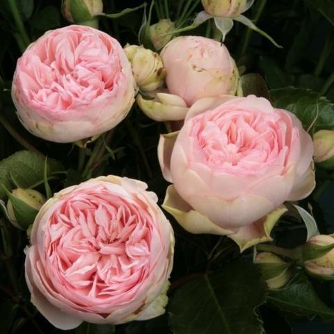 Роза кустовая Charming Piano