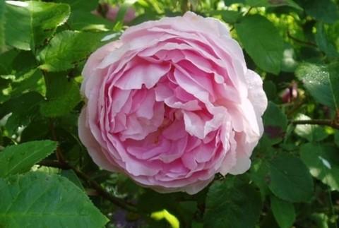 Роза плетистая Констанс Спрай (Осфест)