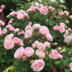 Роза флорибунда Мариатерезия Mariatheresia Северный огород