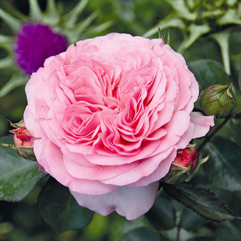 Роза флорибунда Мариатерезия Mariatheresia купить