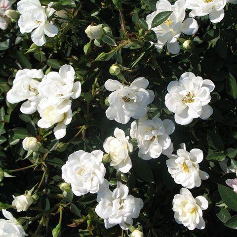 Роза Кустовая Kent