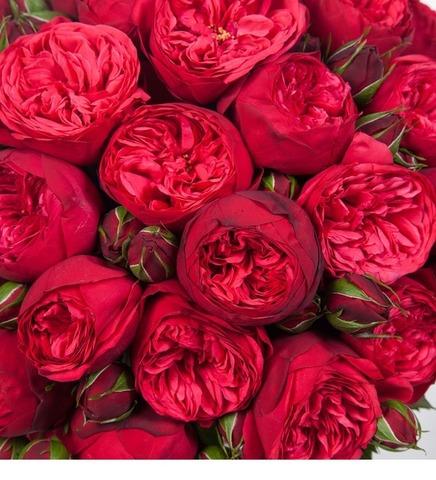 Роза кустовая Piano