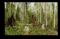 """Репродукция """"Шишкин - Сосновый лес"""""""