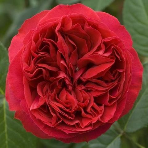 Роза кустовая Red Eden Rose