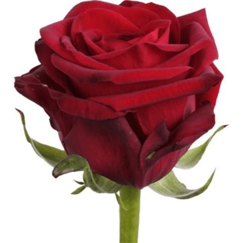 Роза по спеццене!  #14263